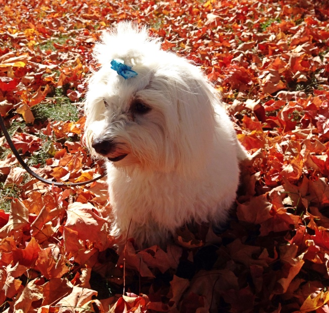 Chloe the coton enjoying Fall